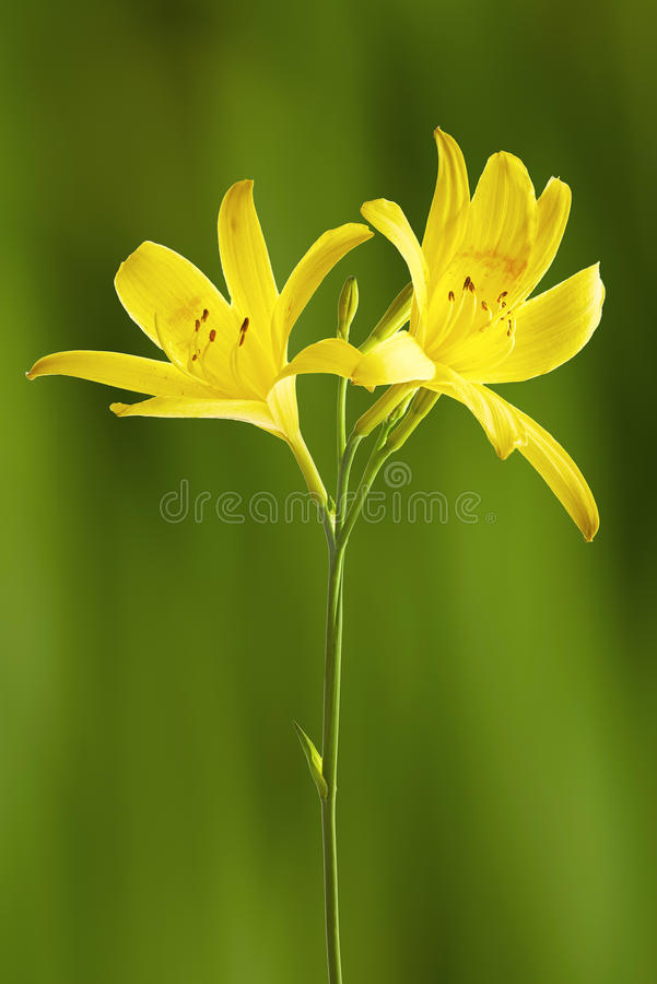 Gul lilja för blomma royaltyfri bild