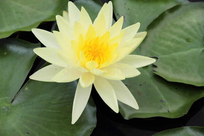 Download Gul lotusblomma fotografering för bildbyråer. Bild av yellow - 27280597