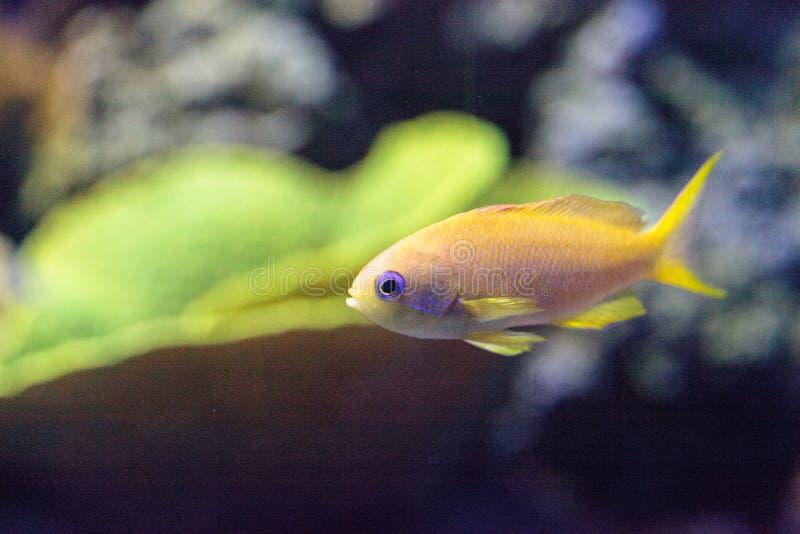 Gul Lyretail Anthias fisk som är bekant som Pseudanthias squamipinnis royaltyfri bild