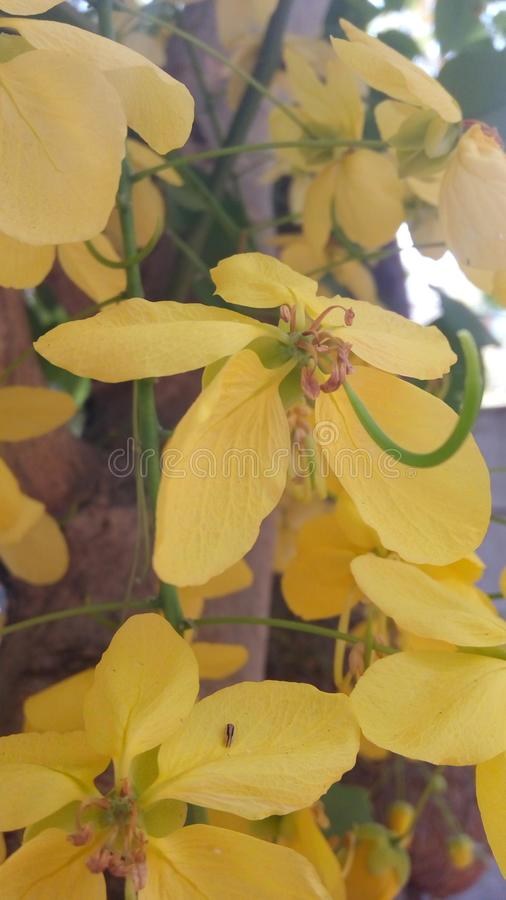 Gul mång- blomma fotografering för bildbyråer