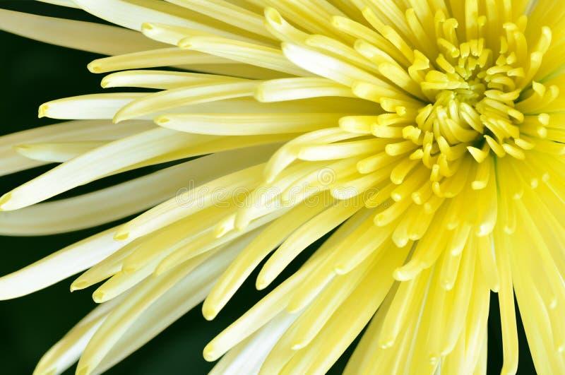 Gul makro för closeup för spindelmumblomma arkivfoton