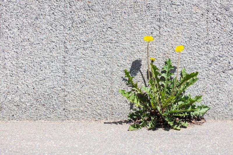 Gul maskros som växer mellan trottoaren och stenväggen royaltyfria bilder