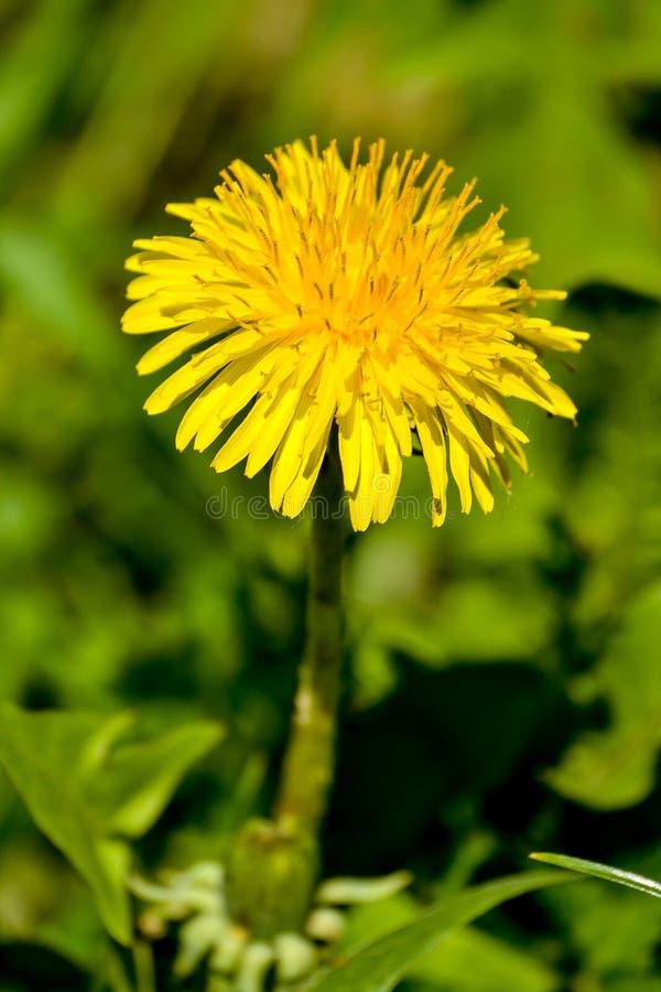Gul maskrosblomma För maskrosblomma för närbild blommande officinale för Taraxacum i vårträdgård arkivbild