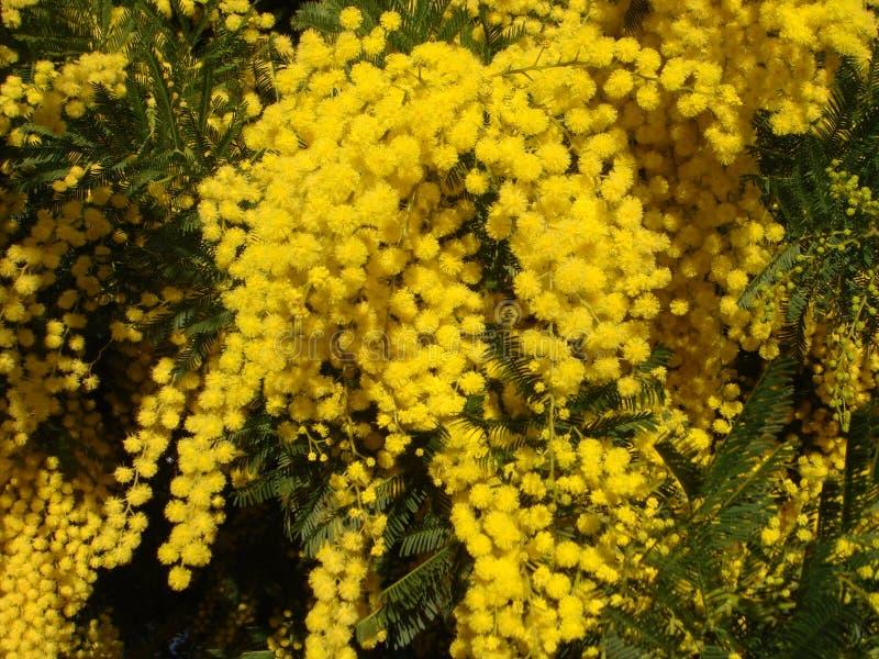 Gul Mimosa arkivbild