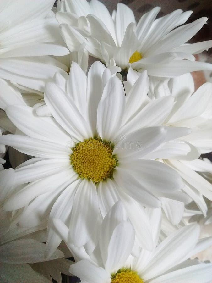 Gul naturlig blomma för vit i omgivande kall ligth royaltyfri bild