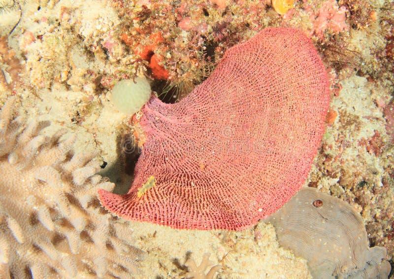Gul nudibranch pÃ¥ rosa fankorall fotografering för bildbyråer