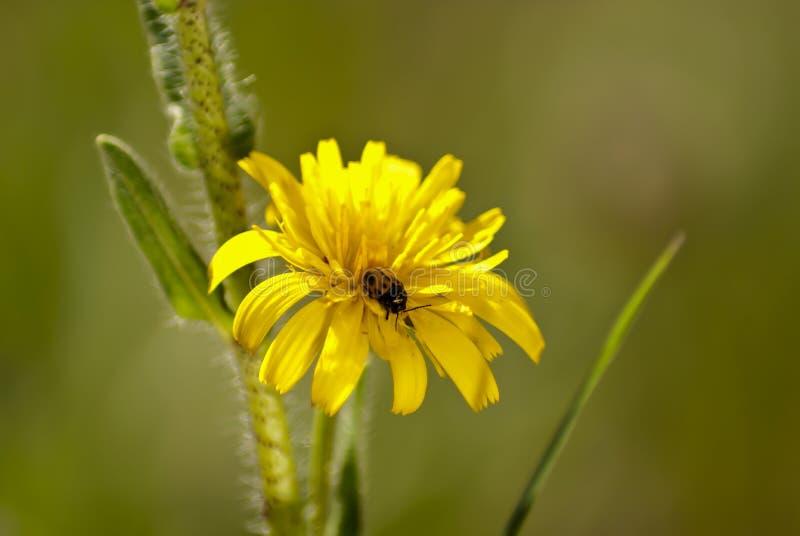 Gul nyckelpiga på maskrosblomman som suger pollen arkivfoton