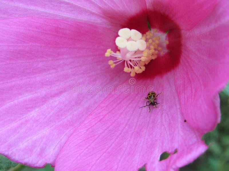 Gul nyckelpiga som täckas med gult pollen arkivbild