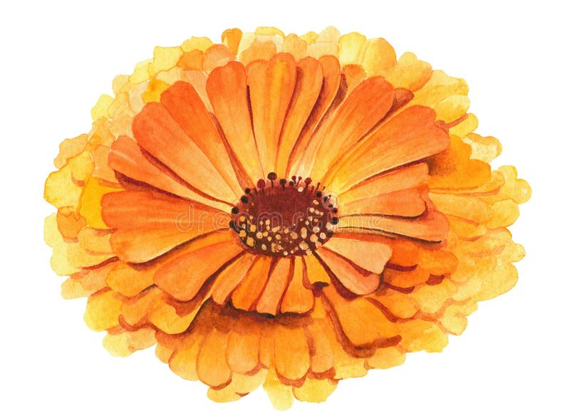 Gul och orange för blommacalendulaofficinalis illustration för vattenfärg akne och ansikts- behandlingört Sjukvård royaltyfria bilder