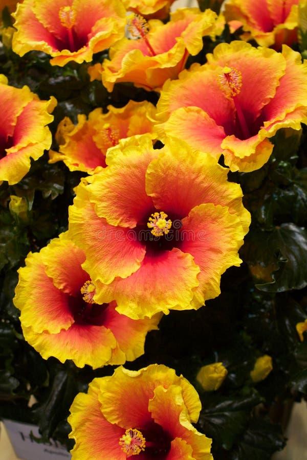 Gul och orange hibiskusblomma arkivbilder
