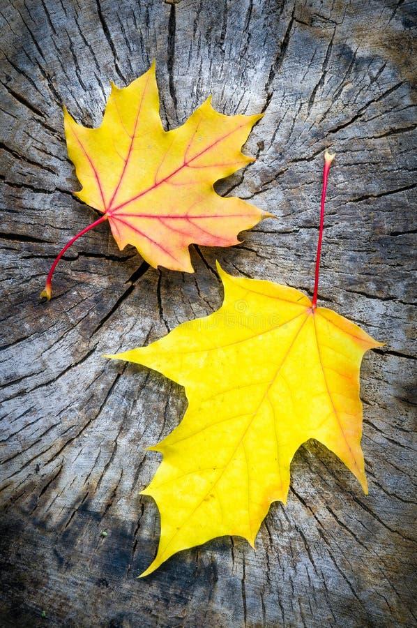 Gul och orange lönnlöv i hösten (den Acer plataen royaltyfri foto