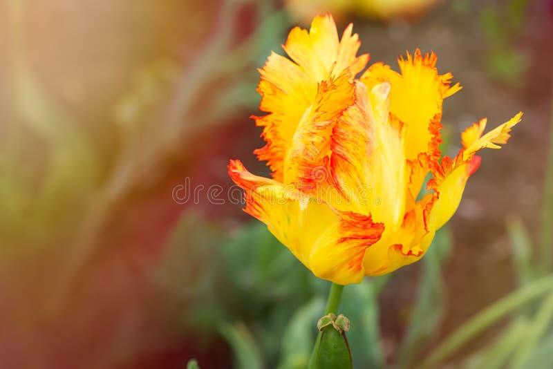 Gul och orange satt fransar p? tulpan i tr?dg?rden royaltyfria bilder