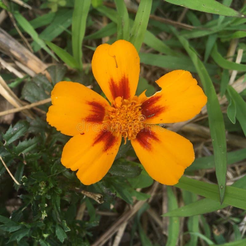 Gul orange blomma royaltyfria foton