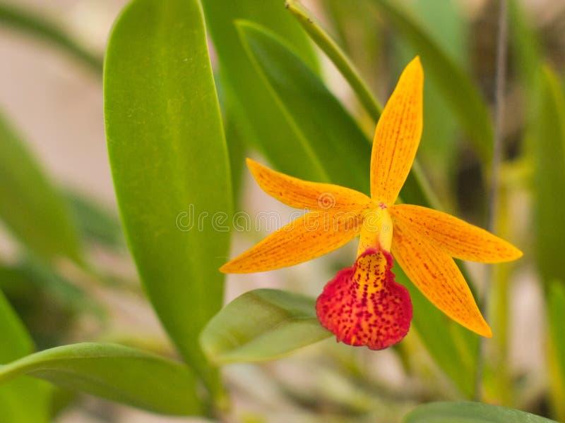 Gul Orchid arkivbilder