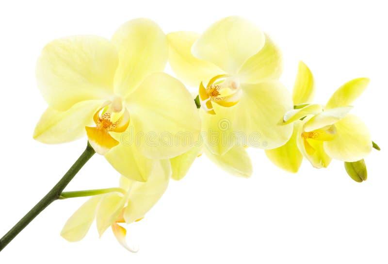Gul orkidé arkivfoton