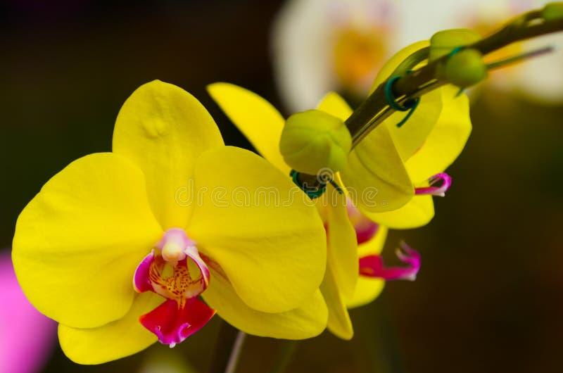 Gul orkidé för blomma arkivfoto