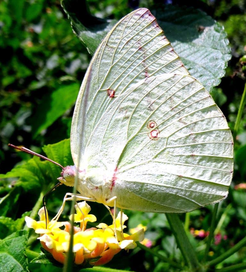 Gul prickig fjäril arkivbild
