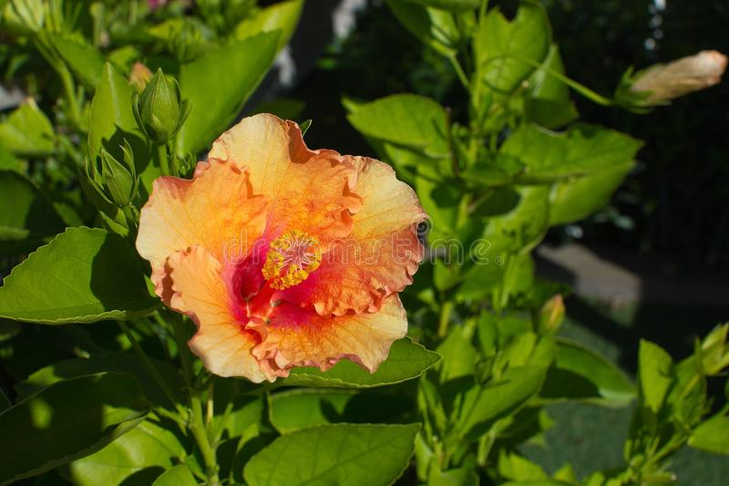 Gul röd hibiskusblommacloseup royaltyfri bild