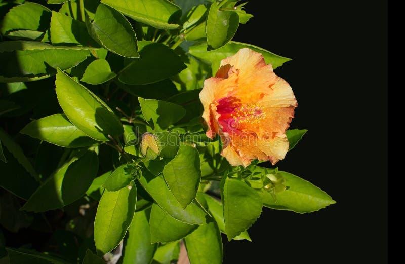 Gul röd hibiskusblommacloseup royaltyfri foto