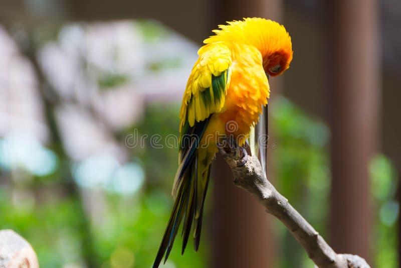 Gul röd och grön papegoja eller ara i en parkera arkivfoto