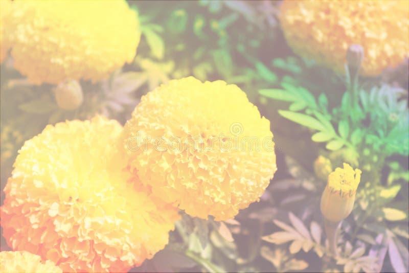 Gul ringblommabild, med pastellfärgad färg arkivbild