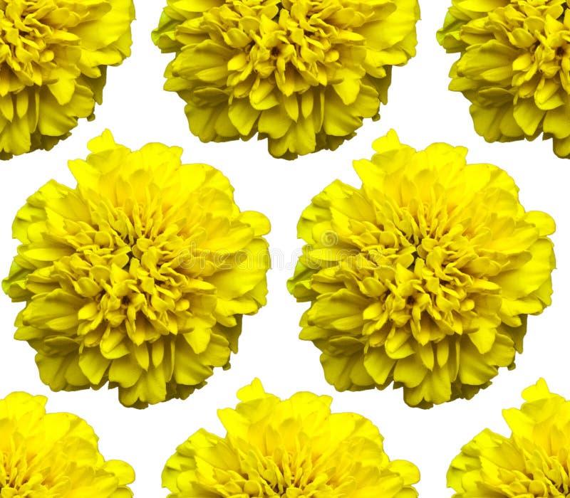 Gul ringblommamodell Härlig blommabakgrundstextur royaltyfri foto