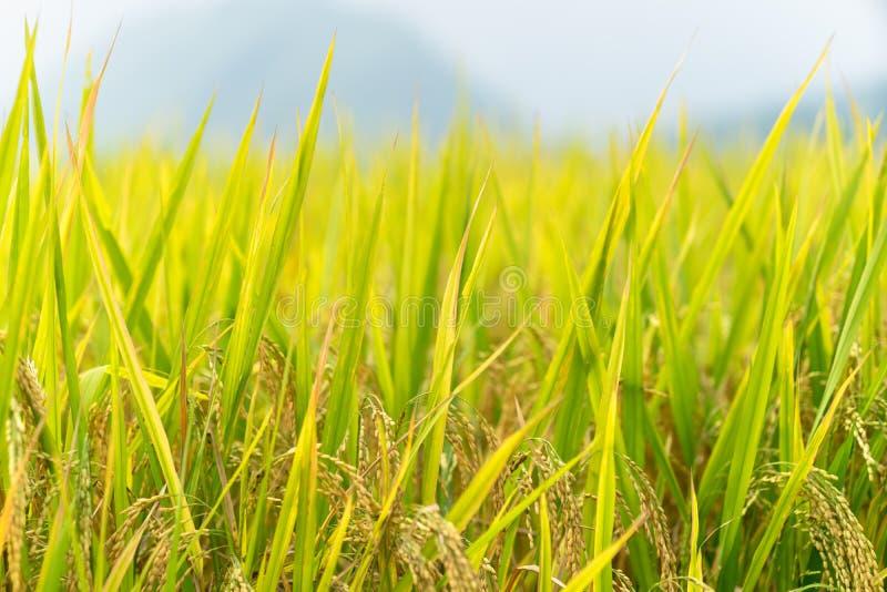 Gul risfält i fältet som är klart för skörd royaltyfria foton