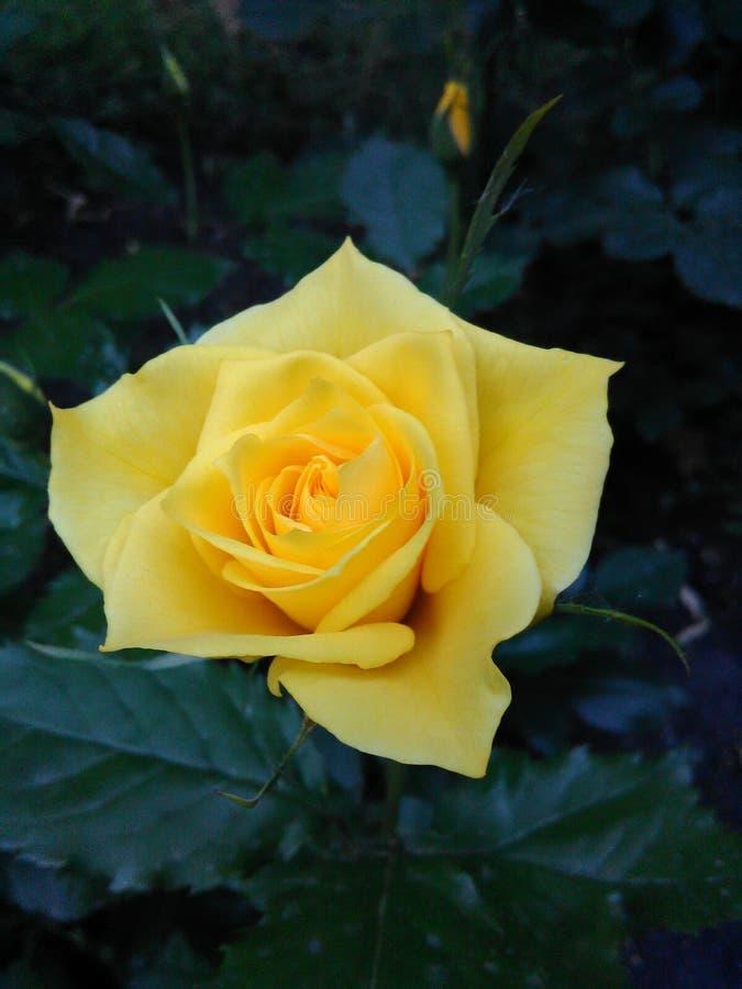Gul rosa Closeup royaltyfri bild