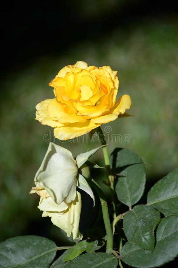 Gul Rosa damascenablomma royaltyfria bilder