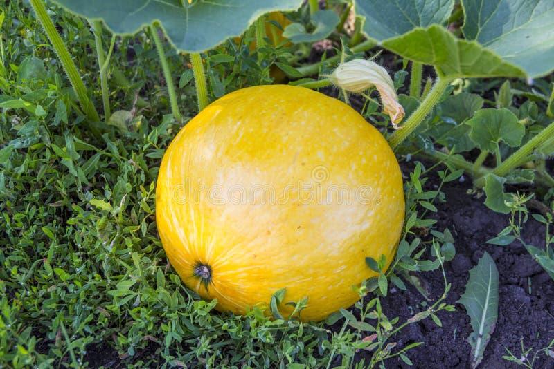 Gul rund pumpa växer i trädgården på melon royaltyfri bild