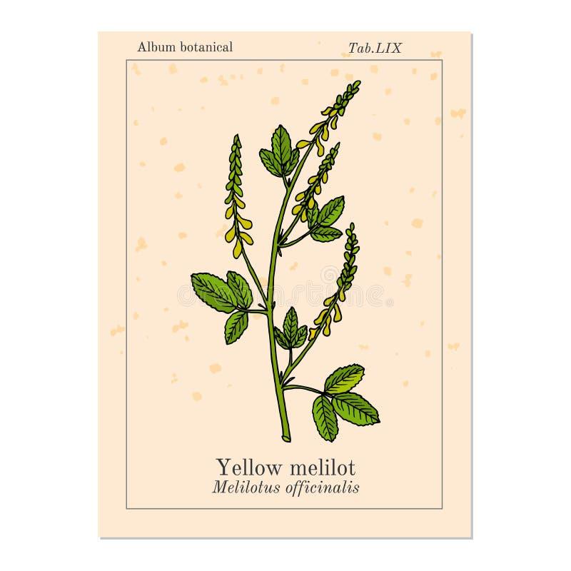Gul s?t v?xt av sl?ktet Trifolium eller ribbade melilotMelilotus officinalis, medicinalv?xt royaltyfri illustrationer