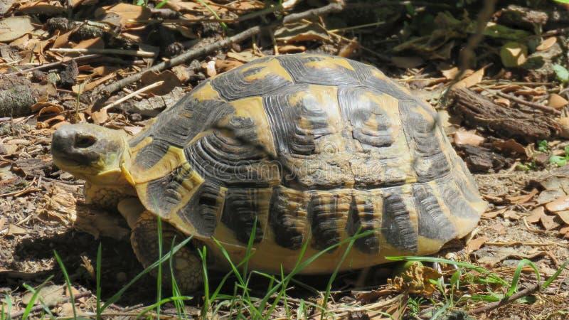 Gul sköldpadda royaltyfri foto