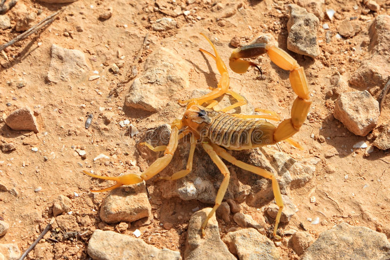Gul skorpion arkivfoto
