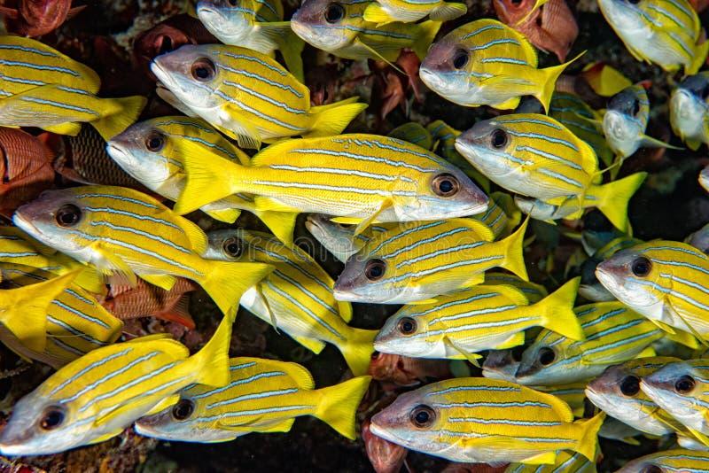 Gul SnapperLutjanidae, medan dyka Maldiverna royaltyfri fotografi