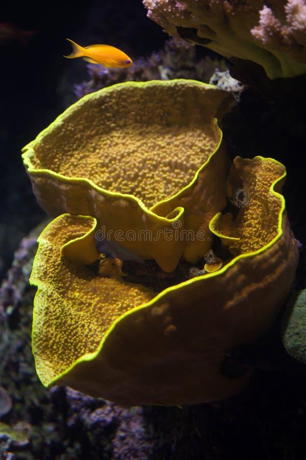 Gul snirkelkorall (Turbinaria reniformis) och havsgoldie (Pseu arkivbild