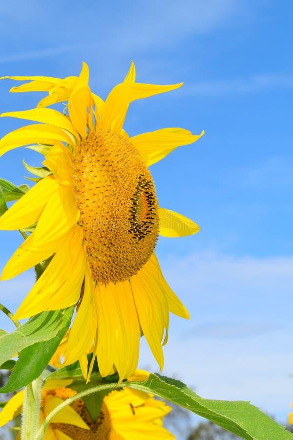 Gul solros på nedgångdag i Littleton, Massachusetts, Middlesex County, Förenta staterna New England nedgång royaltyfria bilder