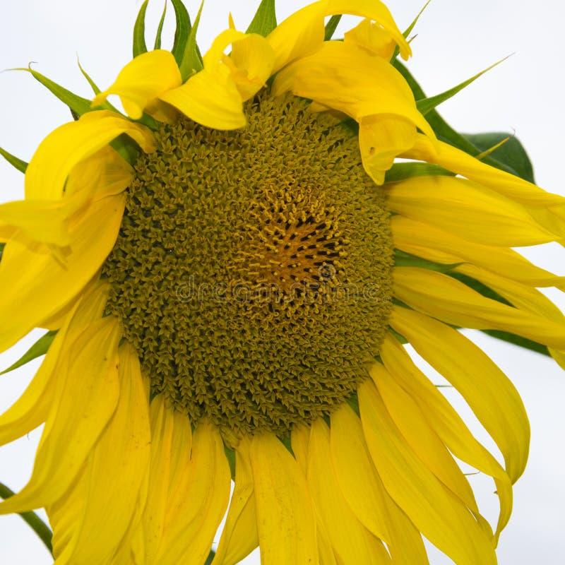 Gul solrosnärbild Suflower blomning royaltyfria bilder