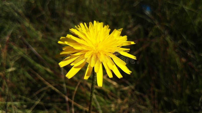 Gul spheric blomma i våren, primavera för en för flor amarillaesférica, Spanien royaltyfri fotografi