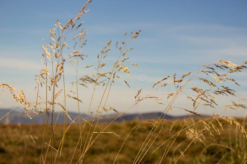 Gul spikeletsförgrund med unfocused bergbakgrund sky för liggande för bakgrundsfältgräs Vasser mot blå himmel royaltyfri fotografi