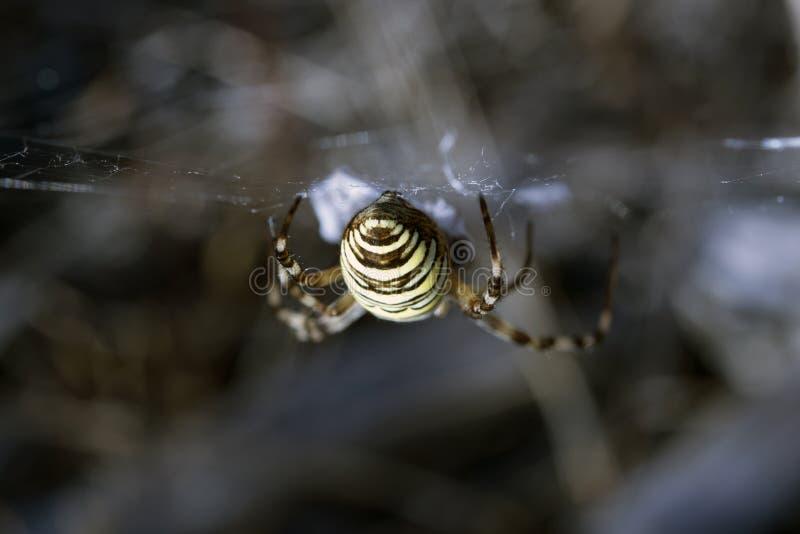 Gul spindel på rengöringsduken royaltyfri bild
