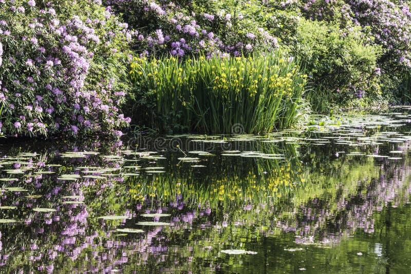 Gul svärdslilja och lilarhododendron reflekterar i vatten royaltyfri bild