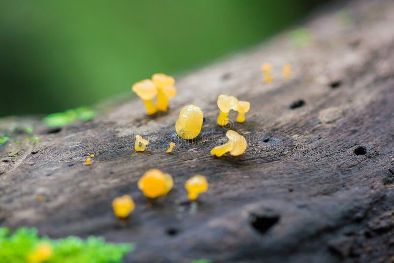 Gul svamp på torrt trä i skogen fotografering för bildbyråer