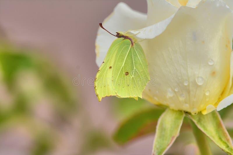 Gul svavelfjäril på en vit ros royaltyfria foton