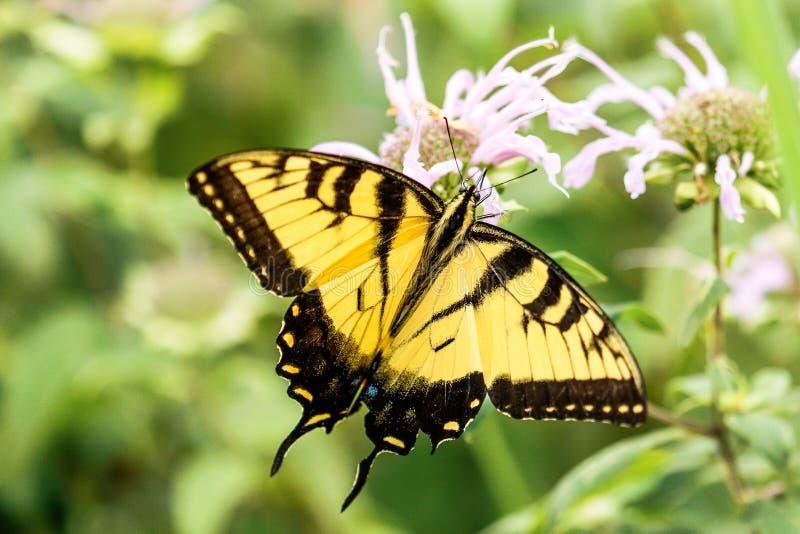 Gul Swallowtail Butterfly Lincoln Gardens royaltyfria foton