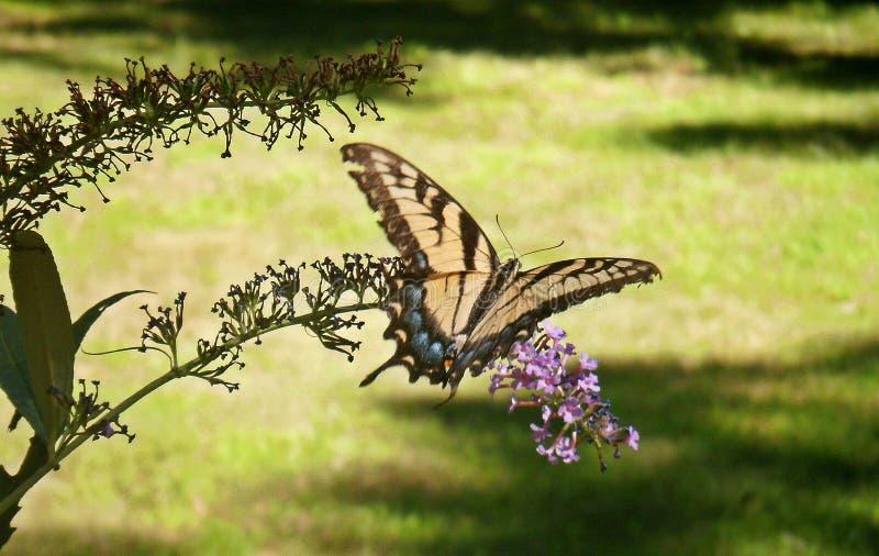Gul Swallowtail fjäril royaltyfri bild