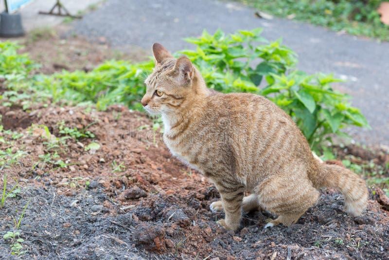 Gul synad avföring för thailändsk katt på jordningen royaltyfri bild