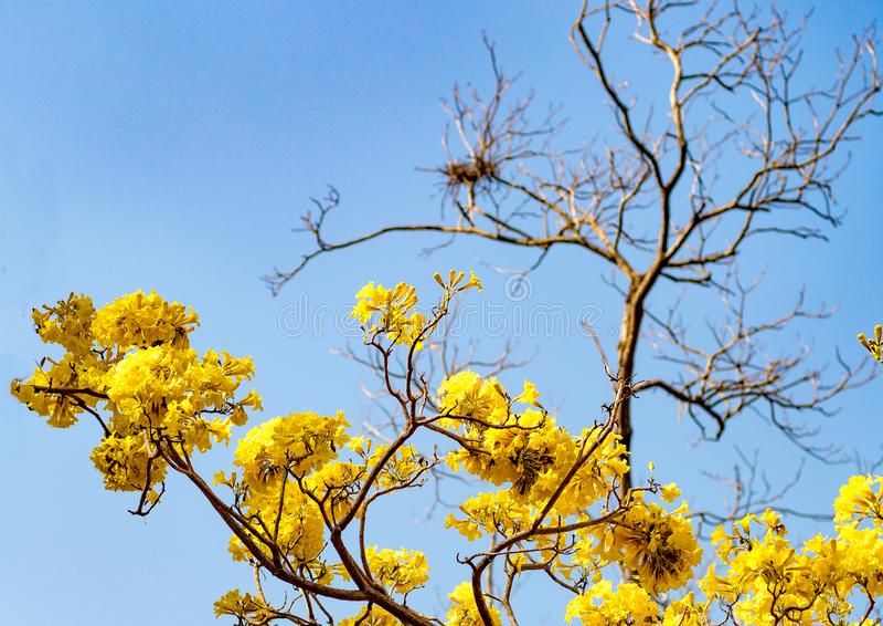 Gul tid f?r sommar f?r blomningblommav?r mot en bakgrund av den h?rliga naturen f?r bl? himmel royaltyfri foto