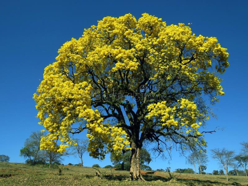 Gul tree Handroanthus albus fotografering för bildbyråer