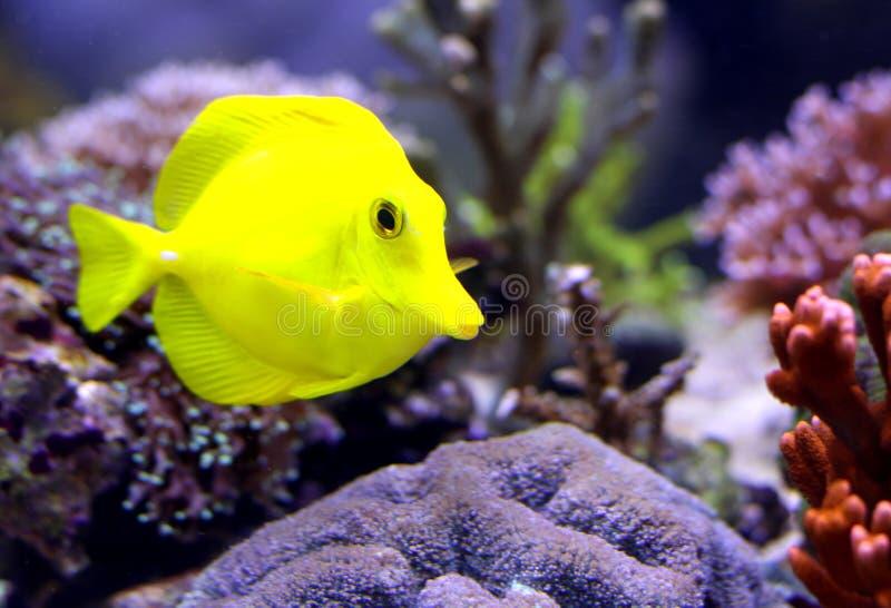 Gul tropisk fisk som simmar i akvariet royaltyfri bild