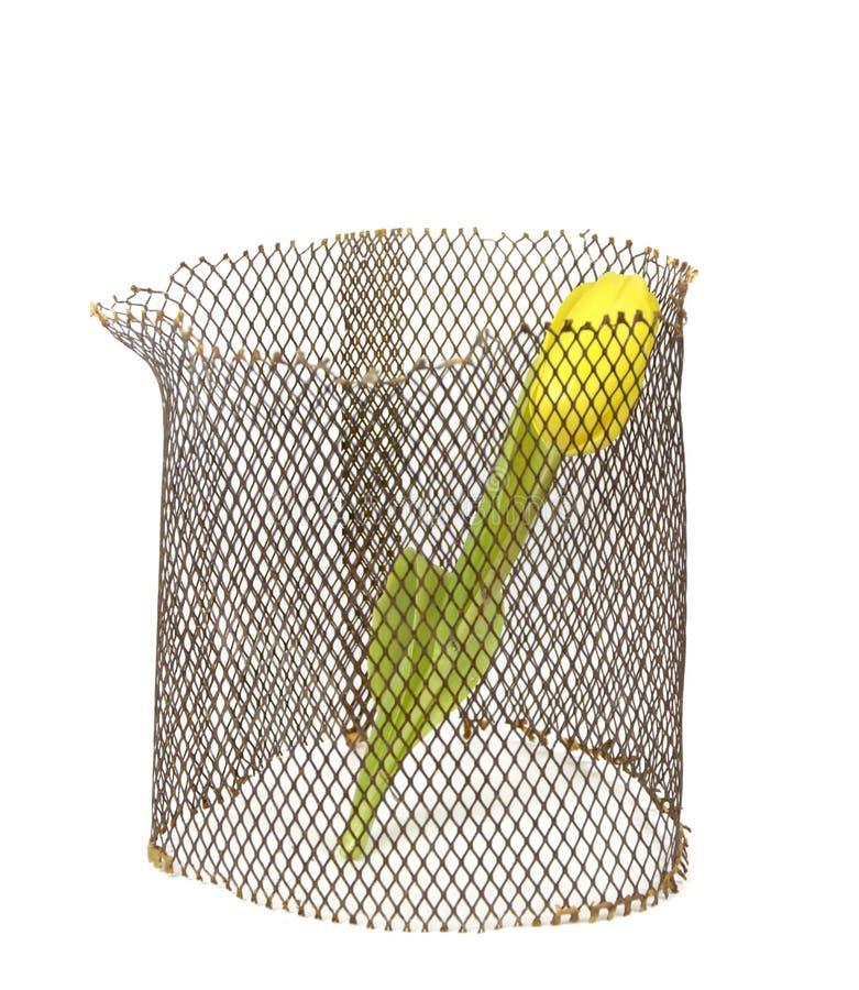 Gul tulpan i raster på vit bakgrund. arkivfoton